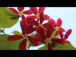 red jasmine flower in my roof with surah al an am 1 10