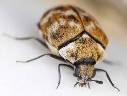 4 Common Bugs Mistaken For Bed Bugs Pestkilled