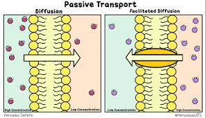 3 Types Of Passive Transport Membrane Transport Scientist Cindy