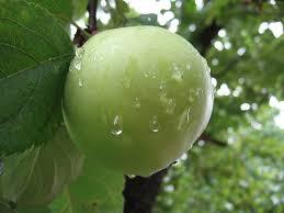 green apple fruit tree. a green apple growing on tree : free stock photo ? fruit