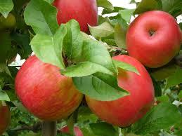"""Résultat de recherche d'images pour """"pommes images"""""""