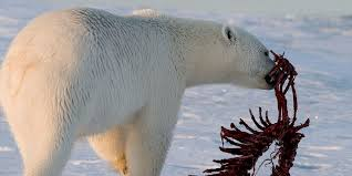 Polar bear diet | WWF Arctic