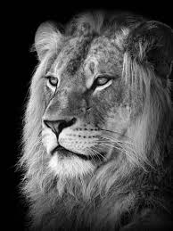 black and white lion portrait. Contemporary Black Portrait Of A Lion In Black And White Intended A