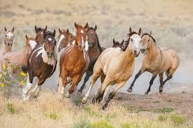 wild white horses running free.  Horses Wild Horses Running Utah USA With White Free F