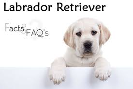 Labrador Weight Chart By Age Labrador Retriever Facts And Faqs