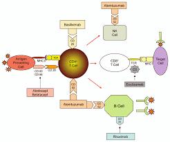 Antibody immunosuppressive therapy in solid organ transplant