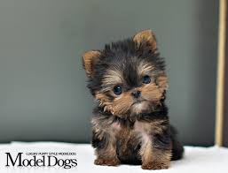 toy yorkie yorkshire terrier puppy look at the cute little baby i so want it