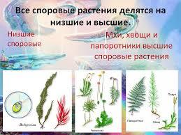 сплошное течение реферат о споровых растениях Все споровые растения делятся на низшие и высшие