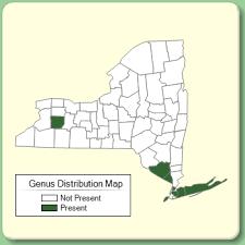 Cytisus - New York Flora Atlas - University of South Florida