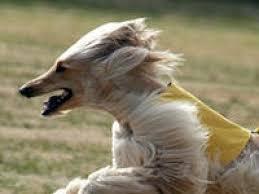 affenpinscher afghan hound