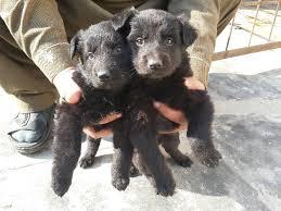 belgian shepherd groenendael pups for double coat rawalpindi