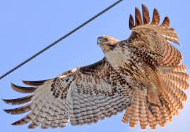 Six Quick Questions To Help You Identify Red Tailed Hawks