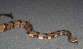 Georgia Snake Identification Chart 6 Most Dangerous Snakes In Georgia