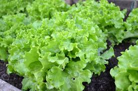 lettuce is excellent for container gardening