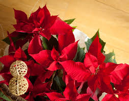 Poinsettia Red Plant With Flowers
