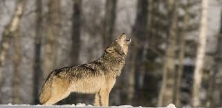 photo a lone wolf howls