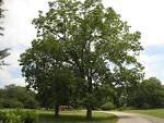 Images & Illustrations of black walnut tree