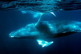 Image result for blue whales
