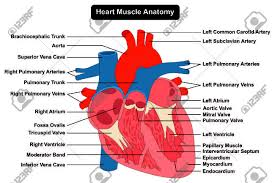 Anatomy Of The Heart Chart Human Heart Muscle Structure Anatomy Infographic Chart Diagram