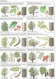 Trees  How To Identify Tree LeavesFruit Tree Leaf Identification
