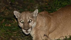 mountain lions are popping up all over the bay area and beyond