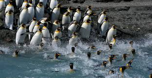 Penguins Depth Chart Climate Change 70 Of King Penguins Could Abruptly