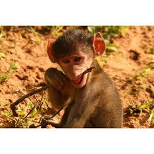 Laminated Poster Young Baby Monkey Monkey Poster Print 24 X 36