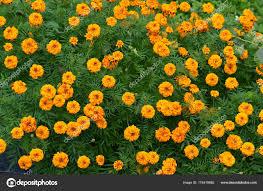 beautiful nature marigold flowers garden stock photo