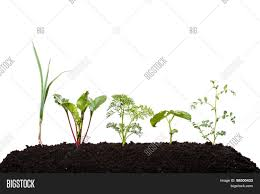 carrot plant stages. Wonderful Stages Young Beetroot Garlic Carrot Pea Bean Onion Vegetables In Early Growing Throughout Carrot Plant Stages