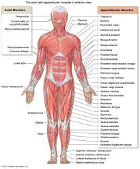 the muscular system  micro and macro anatomysuperficial muscles diagram  anterior