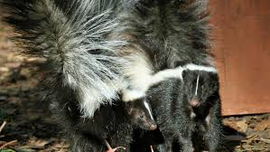 skunk removal cost. Beautiful Skunk How Much Does Skunk Removal Cost In Cost Angieu0027s List