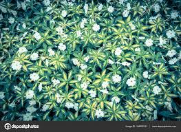 top view of green grass with small white flowers background stock photo