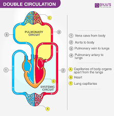 Double Circulation Flow Chart Double Circulation Blood Circulation In Humans Byjus