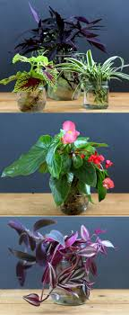 the easiest and most foolproof way to grow indoor plants in glass bottles and water