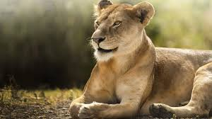 free african lion wallpaper in