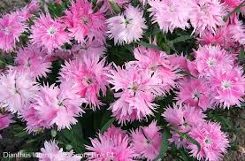 dianthus supra with pink fluffy flowers