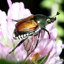 japanese beetles life cycle japanese beetle wikipedia
