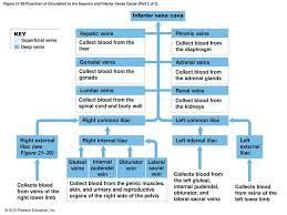 Venous Blood Flow Chart 21 1 Classes Of Blood Vessels Ppt Download