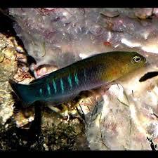 Dottyback Compatibility Chart Surge Dottyback Pseudochromis Cyanotaenia Aqua Locker