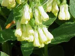 Symphytum tuberosum Tuberous comfrey PFAF Plant Database