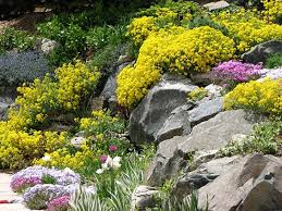 basket of gold phlox and iris enliven rock gardens