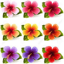hibiscus flowers set of colorful hibiscus flowers royalty free cliparts vectors and