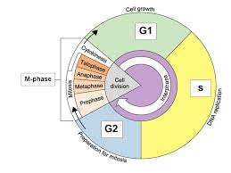 Cell Cycle Pie Chart Chapter 10 And 11 4 Cell Growth And Division Organisms Need