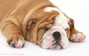 bulldog puppies sleeping.  Sleeping Sleeping Bulldog Pup 8 Weeks Old White Background To Puppies R