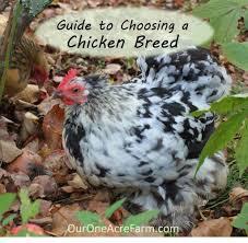 Bantam Chicken Breeds Chart Bantam Chicken Breeds