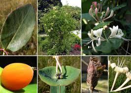 Lonicera caprifolium L. - Portale della Flora di Roma