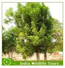 vegetation in ranthambore national park ranthambore vegetation  vegetation in ranthambore national park the neem tree