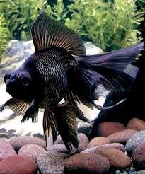 large size design black goldfish bath accessories:  ideas about fantail goldfish on pinterest ryukin goldfish veiltail goldfish and goldfish