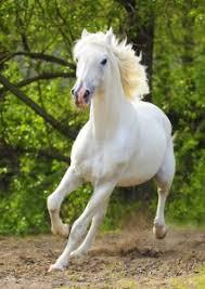 white horses running. Exellent White On White Horses Running