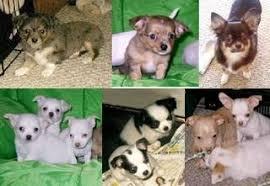 Chihuahua Color Chart Chihuahua Coat Colors